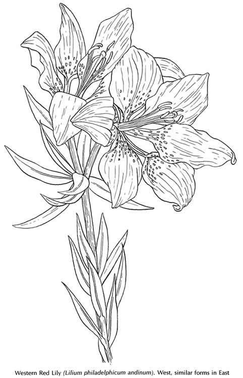 american wild flowers-2